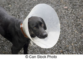 injured-dog-a-door-labrador-dog-with-a-cone-around-his-neck-shaved-fur-on-his-right-cheek-with-an-stock-images_csp2810455.jpg
